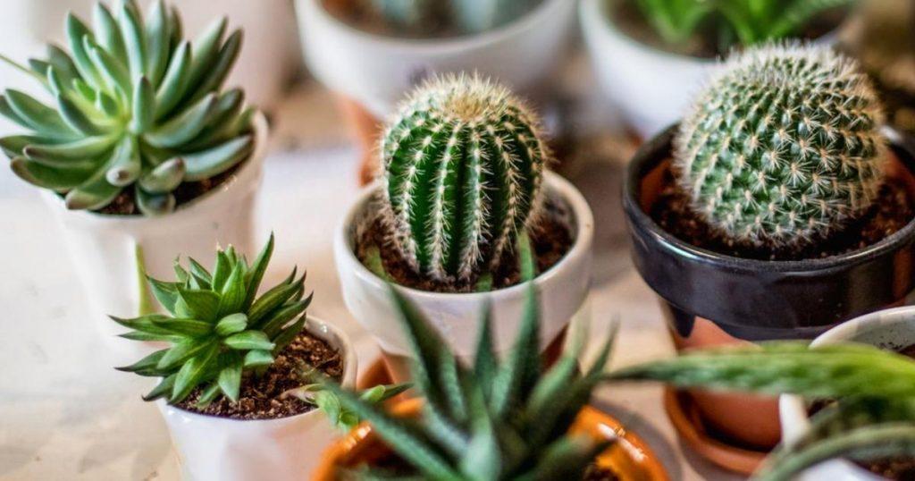 Cactus-nombres-tipos-cuidados-significado-planta-3