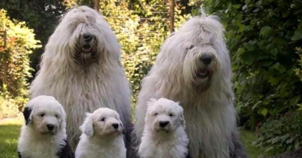 Caracteristicas-perro-pastor-ingles