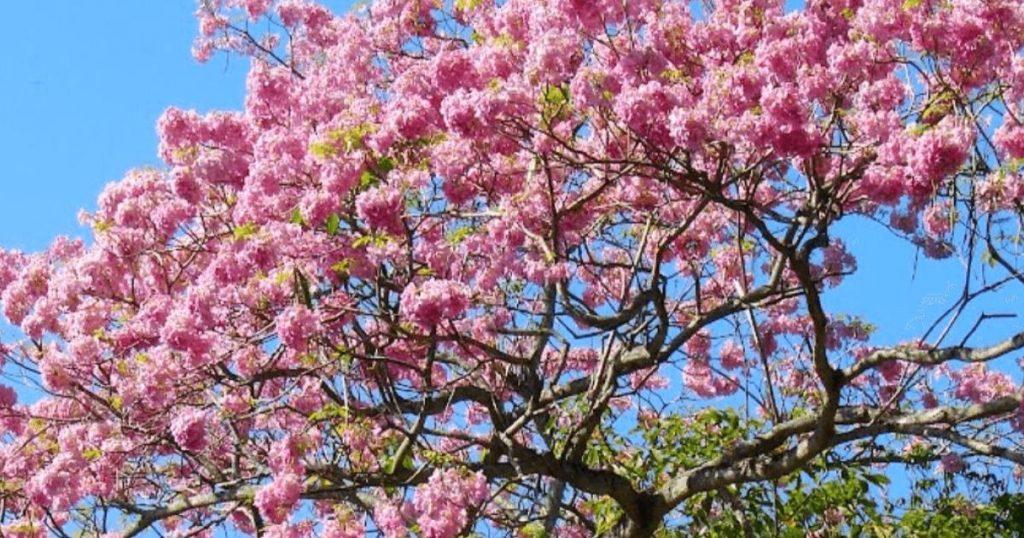 Jacaranda-origen-colores-