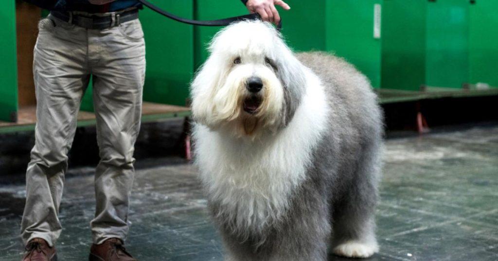 Perro-pastor-ingles-peligro-de-extincion-Inglaterra-Reino-Unido