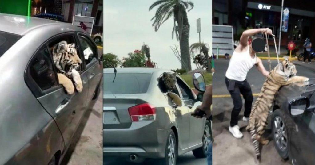 Video-tigre-de-bengala-paseando-en-auto-por-Mazatlan-2