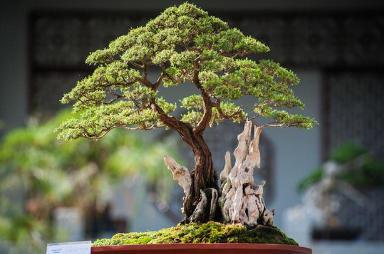 beneficios-de-tener-un-bonsai-Ciudad-Trendy