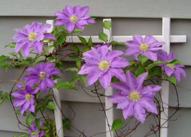 plantas-decorar-patios-y-jardines-ideas-clematide