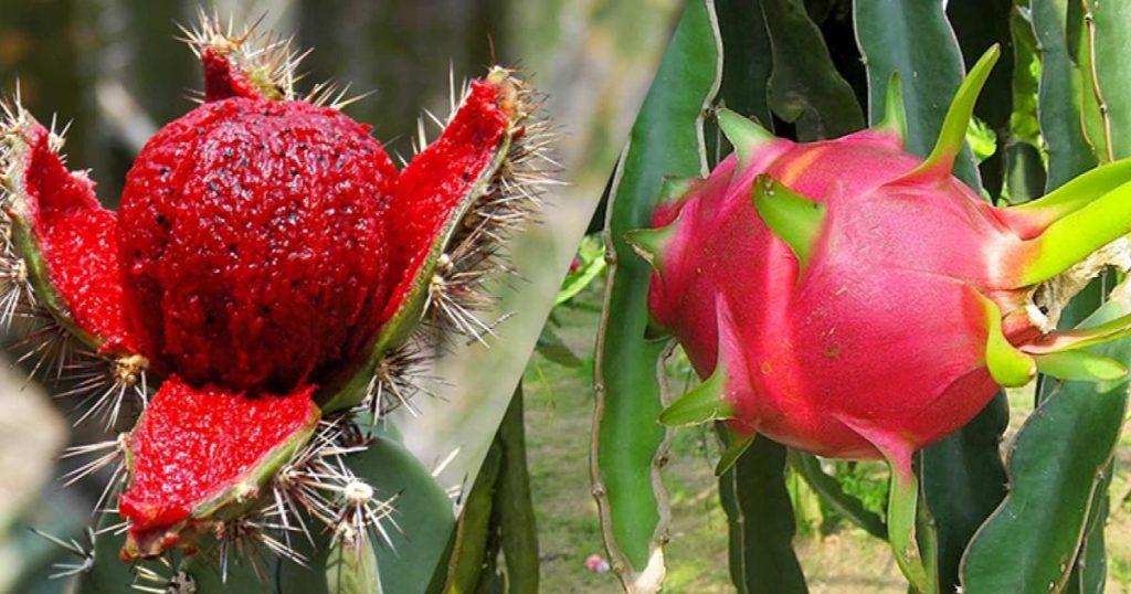 Pitahaya-tipos-beneficios-y-desventajas-fruta-del-dragon-1
