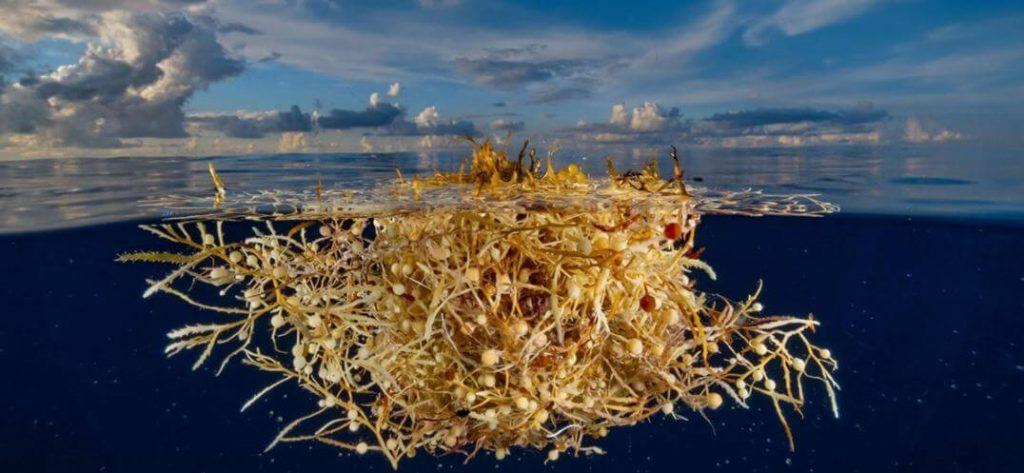 ¿Qué es el sargazo y por qué afecta los océanos?