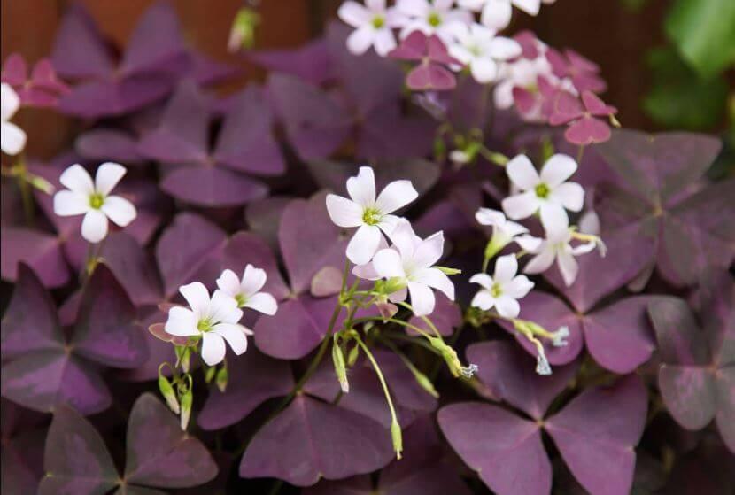 Plantas-moradas-para-el-hogar-planta-mariposa